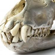 Acid Silver Monkey Skull