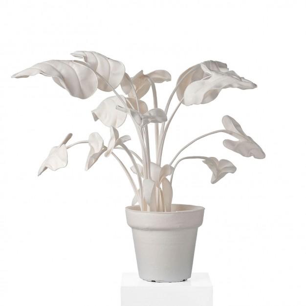 Alocasia White S