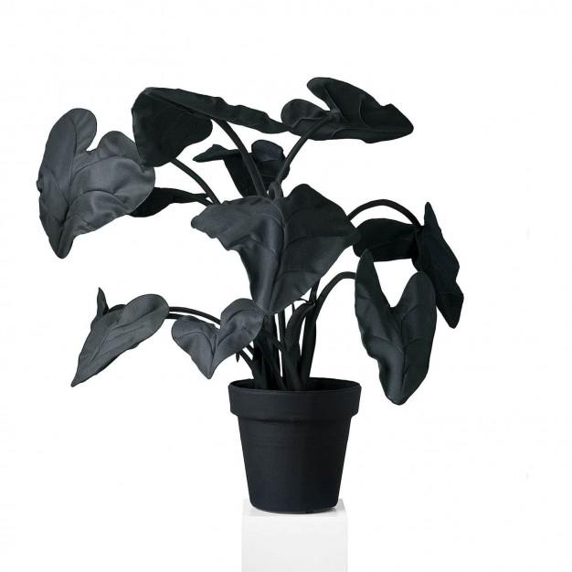 Alocasia Black L