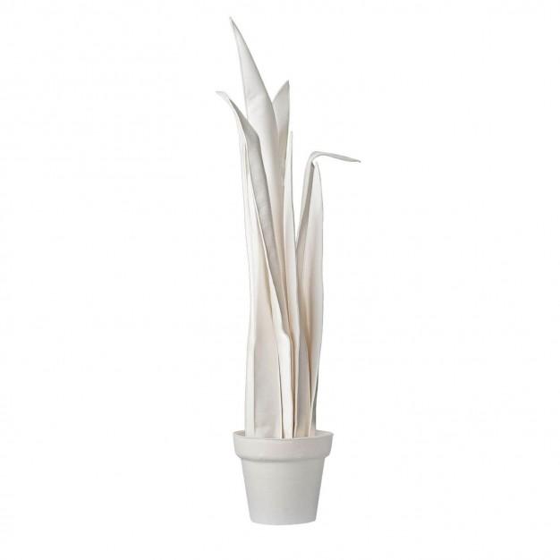 Sanseveria White